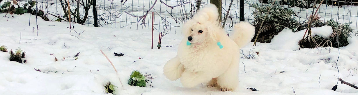 Seaberry's poodles